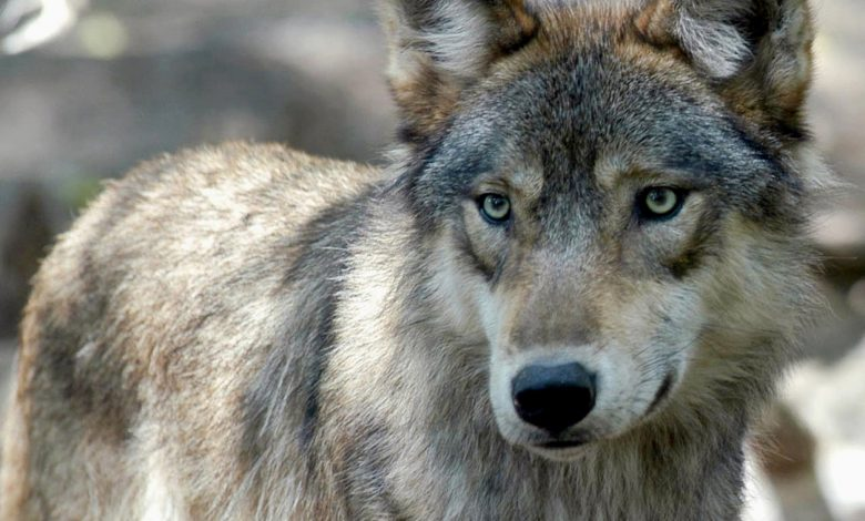 Photo of Trump Officials End Gray Wolf Protections across Most of U.S.