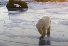Polar bears forced to eat eggs as climate change shrinks Arctic hunting grounds, shows study using drones