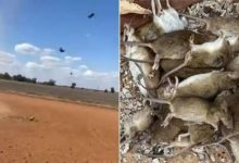 Watch: Australia faces worst mouse plague — Rats 'raining' from the sky