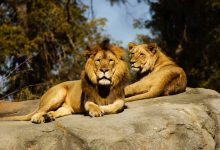 In a first in India, 8 Asiatic lions test positive for Covid-19 in Hyderabad zoo
