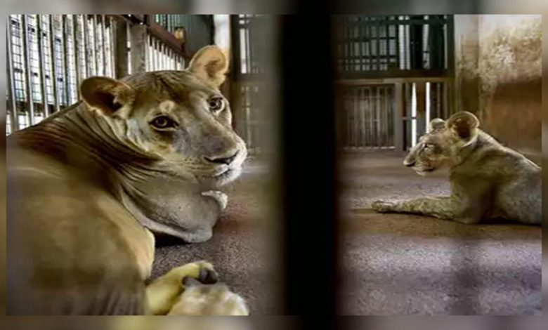 Chennai: Lions at Arignar Anna Zoological Park infected with Delta variant of Covid-19