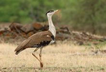The Great Indian Bustards of Kutch: their territories, existential danger