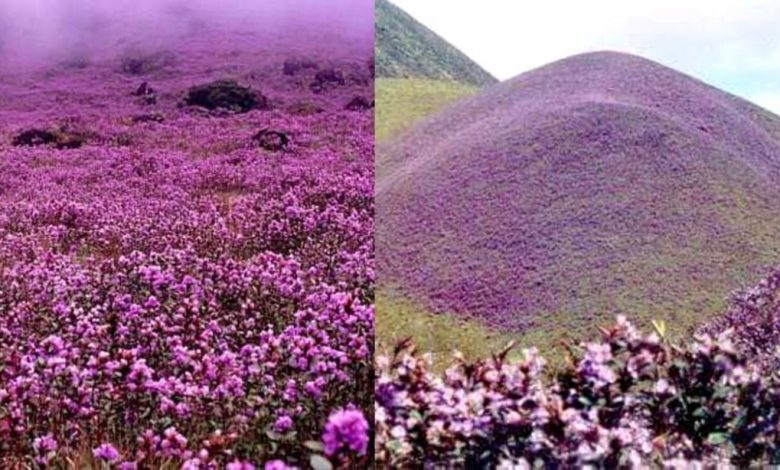 Karnataka's Mandalpatti Hills get covered by rare flowers which bloom once every 12 years