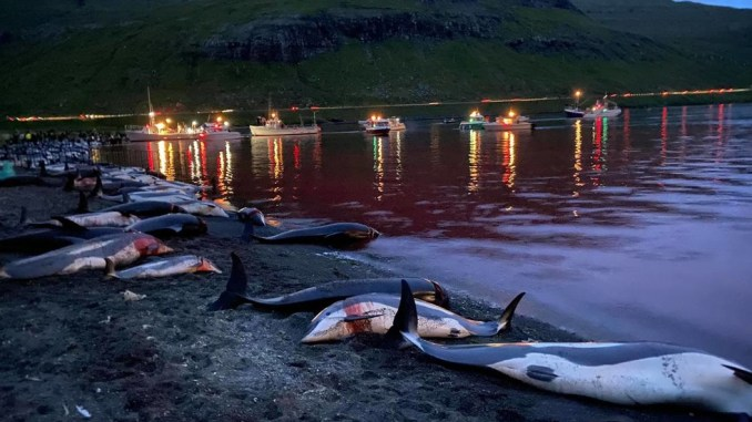 Slaughter of 1500 dolphins in Denmark sparks outrage